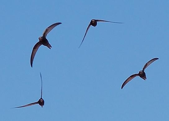 apus_apus_flock_flying_1